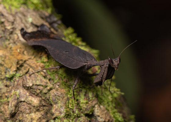 Dead Leaf Mantis (Acanthops spec.) © Jasper Boldingh