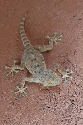 Sinai Fan-fingered Gecko (Ptyodactylus guttatus)