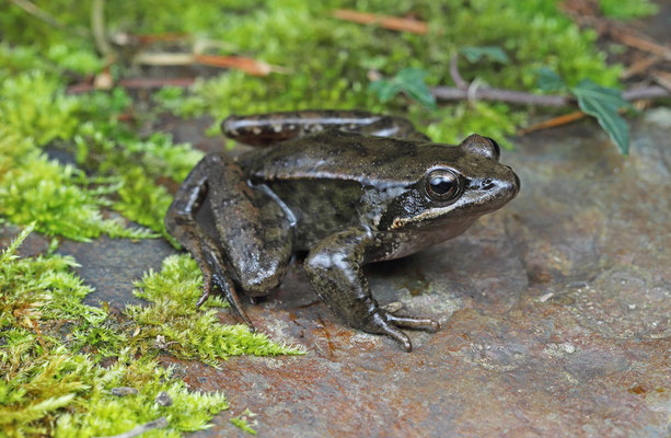 Iberian Stream Frog (Rana iberica)