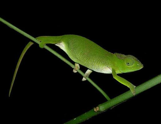 Mulanje Chameleon (Nadzikambia mlanjensis) female