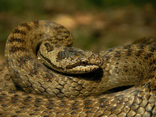 Smooth Snake (Coronella austriaca), Veluwe, the Netherlands, June 2010