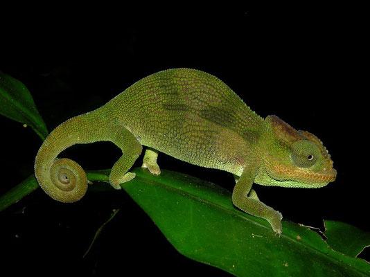 Mulanje Chameleon (Nadzikambia mlanjensis) male
