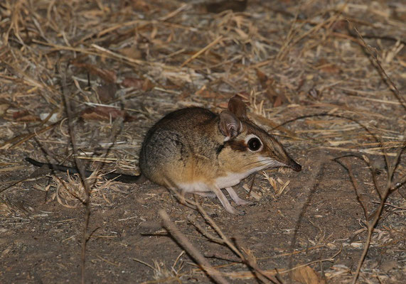 Four-toed Elephant Shrew (Petrodromus tetradactylus) was commonly encountered during bushwalks and night drives.