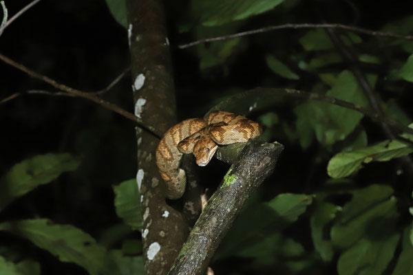 Annulated Tree Boa (Corallus annulatus)