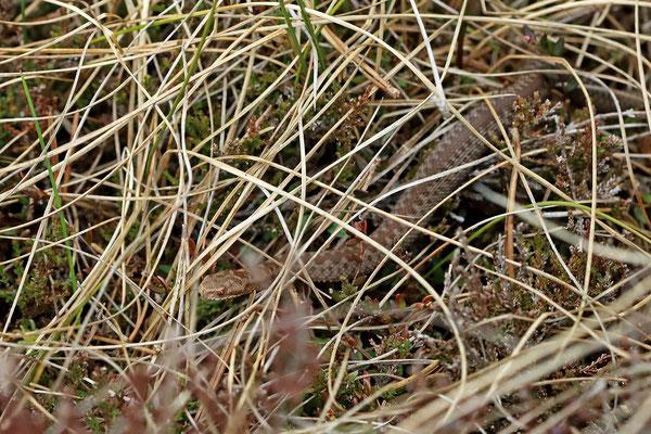 Juvenile Adder (Vipera berus)