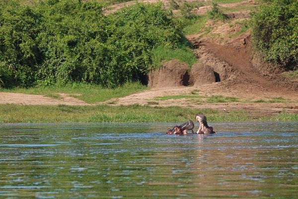 Hippos (Hippopotamus amphibius) playing