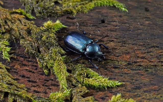 Blue Stag Beetle (Platycerus caraboides)