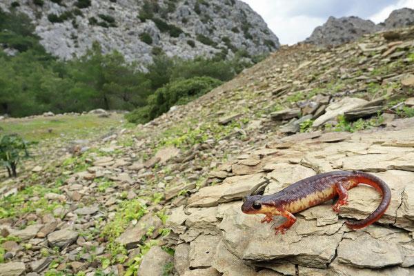 Karpathos Salamander (Lyciasalamandra helverseni) in habitat
