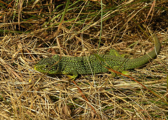 Western Green Lizard (Lacerta bilineata), La Brenne, France, June 2011