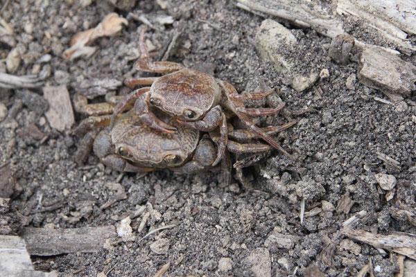 Freshwater Crabs (Potamon fluviatile) © Kyra Hooijschuur