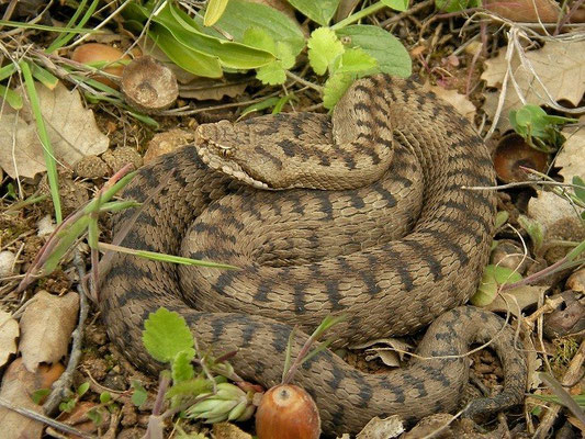 Asp Viper (Vipera aspis), Burgos, Spain, April 2012