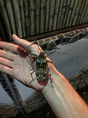Huge Harlequin Beetle (Acrocinus longimanus)
