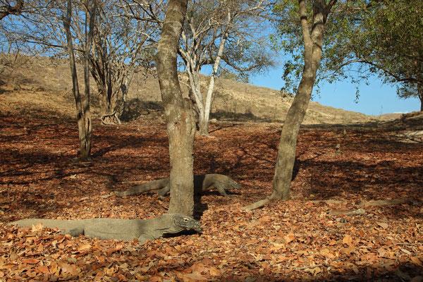 Komodo Dragons (Varanus komodoensis) enjoying the morning sun.