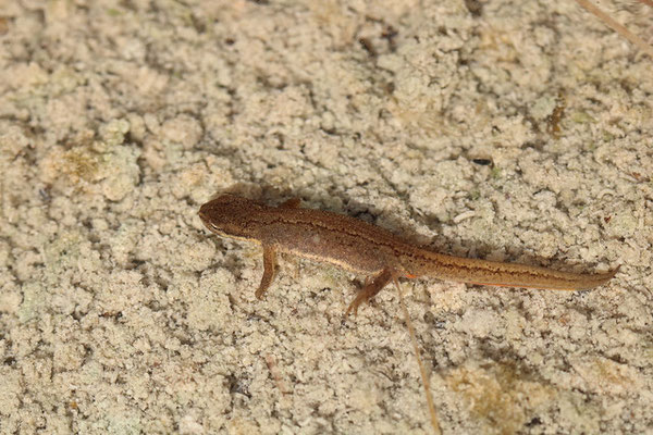 Common Newt (Lissotriton vulgaris)