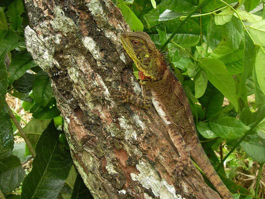 Amazon forest dragon (Enyalioides laticeps)