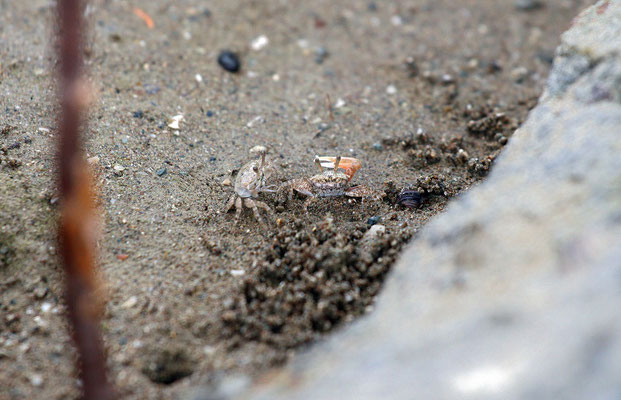 Fiddler Crabs (Uca sp.)