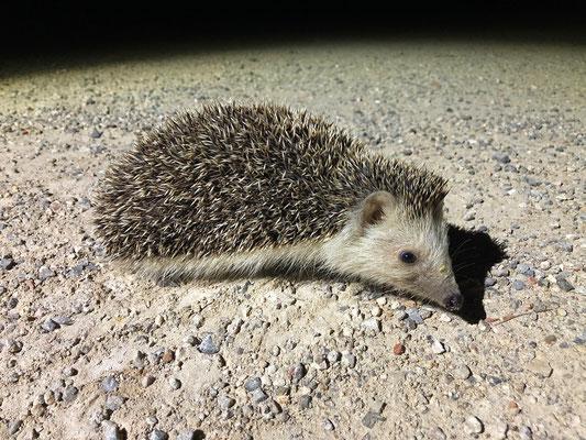 Algerian Hedgehog (Atelerix algirus)