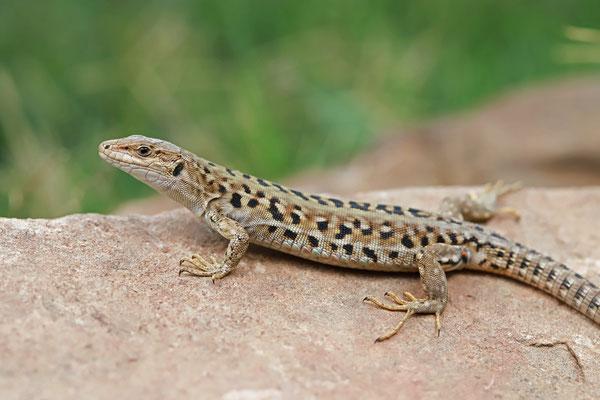 Italian Wall Lizard (Podarcis siculus siculus)