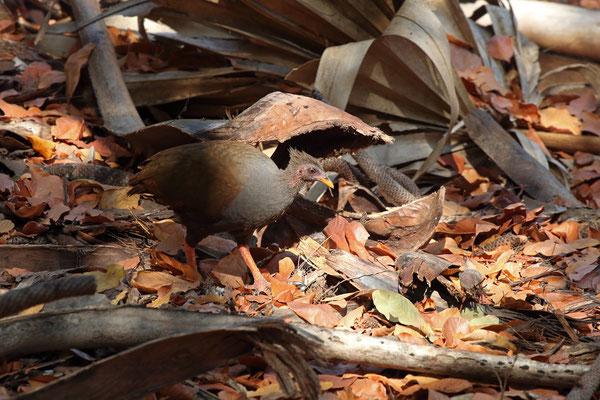 Orange-footed Scrubfowl (Megapodius reinwardt)