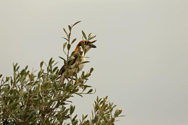 Balearic Woodchat Shrike (Lanius senator badius)