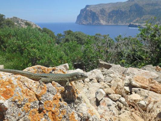 Lilford's Wall Lizard (Podarcis lilfordi gigliolii)