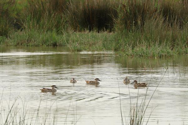 Marbled Ducks (Marmaronetta angustirostris) courting.