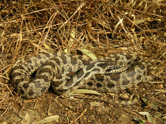 Four-lined Snake (Elaphe quatuorlineata) subadult, Limni Volvi, Greece, May 2013