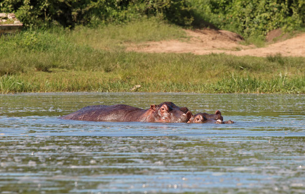 Hippos (Hippopotamus amphibius) with a voyeuristic Nile Monitor (Varanus niloticus) in the back.