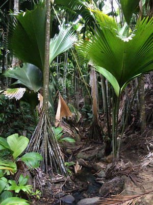 Pandanus palms and saplings from Coco de Mer align this stream.