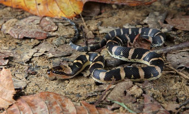 Puff-faced Water Snake (Homalopsis buccata)
