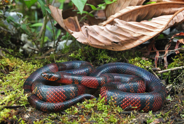 Central American Milk Snake (Lampropeltis abnorma)