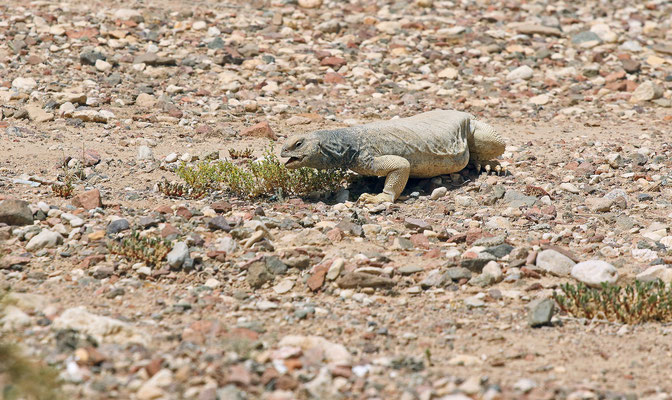 Egyptian Spiny-tailed Lizards (Uromastyx aegyptia) eating