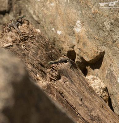Mitchell's Flat Lizards (Platysaurus mitchelli)
