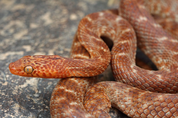 Arabian Cat Snake (Telescopus dhara)