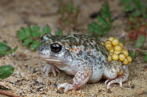 Iberian Midwife Toad (Alytes cisternasii) male with eggs.