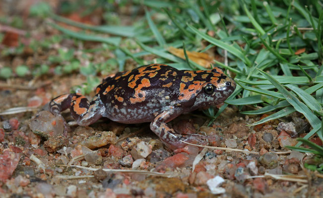 Marbled Rubber Frog (Phrynomantis annectens) was not easy to photograph, always on the run!