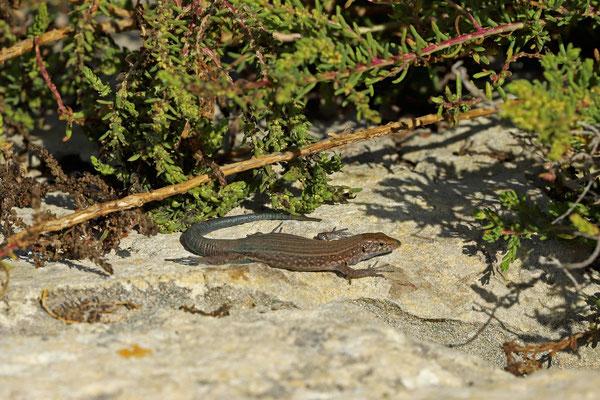Lilford's Wall Lizard (Podarcis lilfordi jordansi) from Illot des Frares.