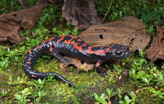 Lincoln's Mushroomtongue Salamander (Bolitoglossa lincolni)