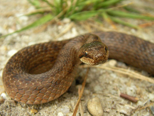 Smooth Snake (Coronella austriaca), reddish specimen, Veluwe, the Netherlands, August 2007