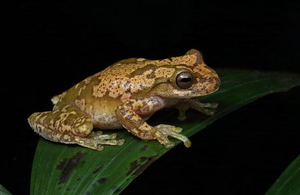 Pine Forest Stream Frog (Ptychohyla macrotympanum)