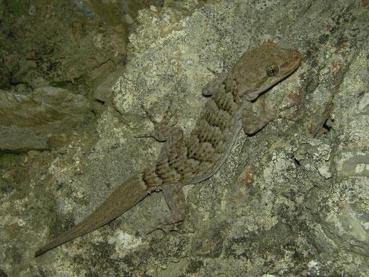 Kotschy's Gecko (Mediodactylus kotschyi), Skyros, Greece, October 2015