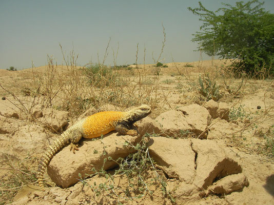 Mesopotamian Spiny-tailed Lizard (Saara loricata) in habitat
