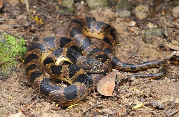 Southwestern Cat-eyed Snake (Leptodeira maculata)