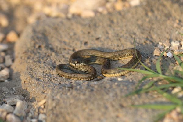 Dice Snake (Natrix tessellata) © Jelmer Groen