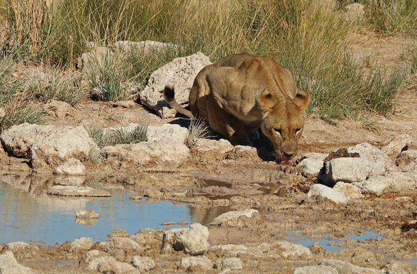 Lion (Panthera leo) having a drink.