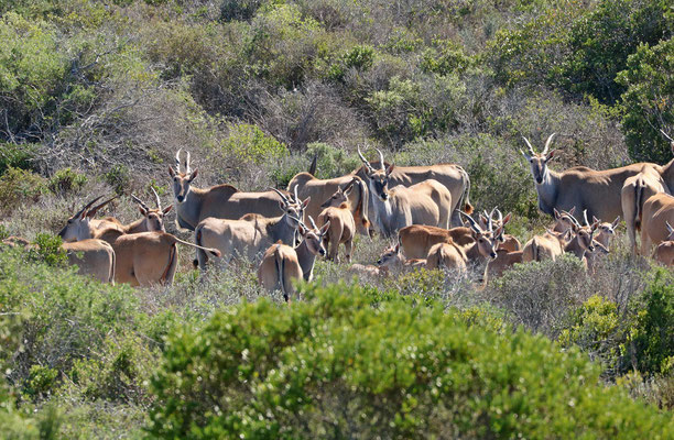 Herd of Eland (Taurotragus oryx)