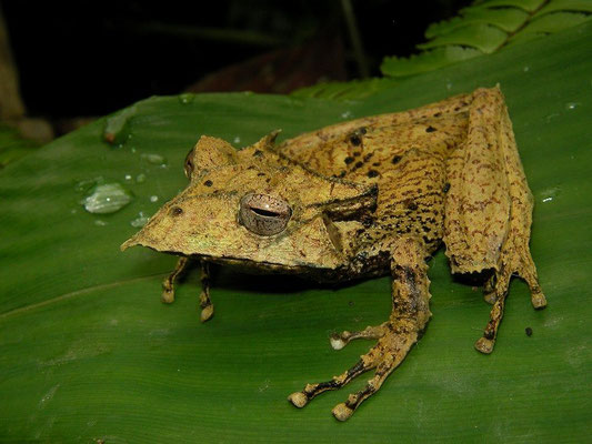 Long-nosed casque-headed treefrog (Hemiphractus proboscideus)