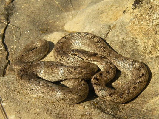 Southern Smooth Snake (Coronella girondica), Murcia, Spain, October 2011