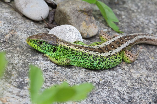 Sand Lizard (Lacerta agilis), along the Isar, Germany, May 2014