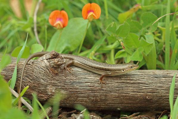 Bridled Skink (Heremites vittata)